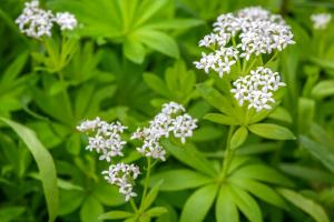 Waldmeister-Pflanze